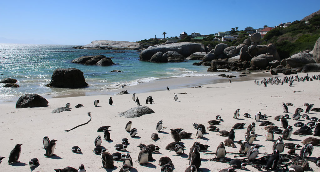 African Penguins at Boulders Beach