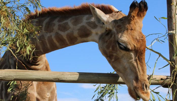 Giraffe House