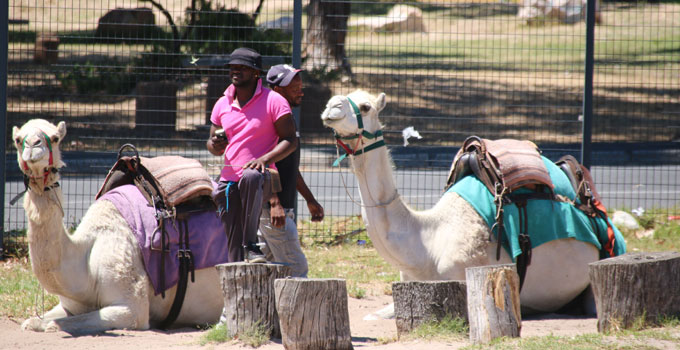 Imhoff Farm Camel Rides