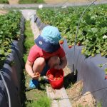 strawberrypicking
